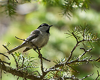 Mountain Chickadee. Rocky Mountain National Park. Image taken with a Nikon D2xs  camera and 70-200 mm f/2.8 lens + 1.4x teleconverter.