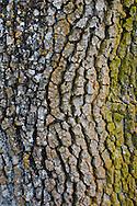Detail of lichen growing on Oak Tree trunk bark, Henry Coe State Park, California