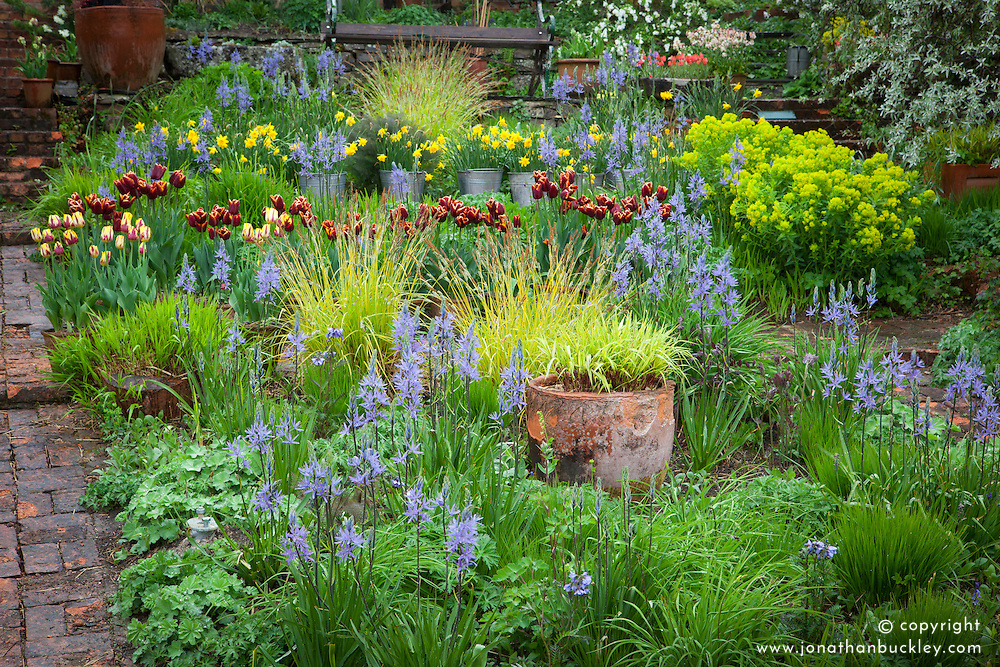 Camassias, tulips and narcissi in the brick garden at Glebe Cottage