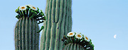 Saguaro Cactus with blossoms.