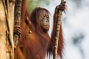 A profile of an orangutan (Pongo pymaeus) sitting in a tree, Tanjung Puting National Park, Central Kalimantan, Borneo, Indonesia