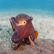 This sequence depicts a veined octopus (Amphioctopus marginatus) using a broken bottle as a portable shelter. The octopus was carrying a small crab that it had caught for a meal. Image 10 in a series of 15.