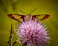 Hummingbird Clearwing Moth on a Thistle Flower. Image taken with a Nikon 1 V3 camera and 70-300 mm VR lens