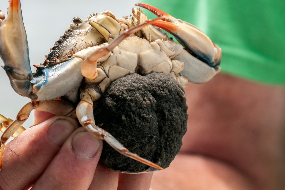 A pregnant crab during Daisey's Island Cruises two-hour tour of Chincoteague, Assateague, and Wallops Islands in Chincoteague Island, VA on Thursday, July 28, 2016. Copyright 2016 Jason Barnette