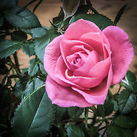 Pink rose with green leaves.