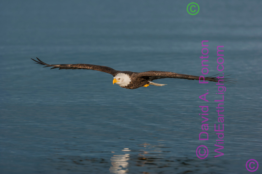 Bald eagle in gliding flight over ocean water, © David A. Ponton