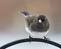 Dark-eyed Junco (Junco hyemalis). Image taken with a Leica SL2 camera and Sigma 100-400 mm lens.