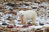 01874-12908 Polar bear (Ursus maritimus) eating Ringed Seal (Phoca hispida)  in winter, Churchill Wildlife Management Area, Churchill, MB Canada