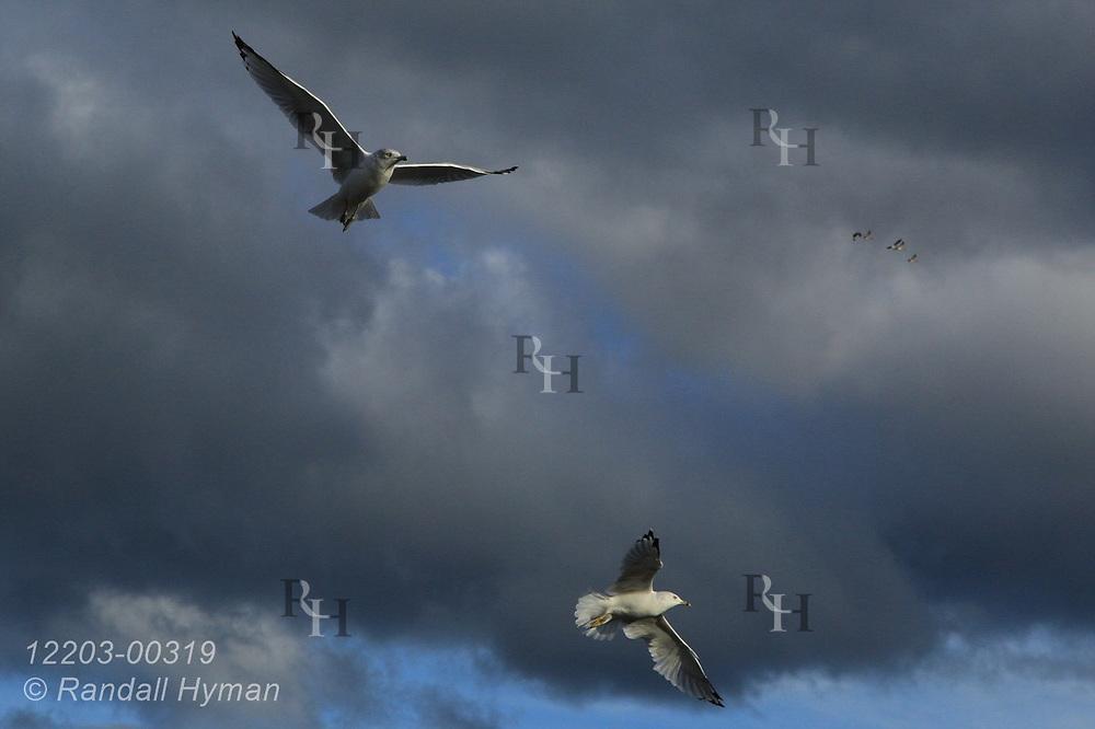 Seagulls take flight in marina at Alpena, Michigan.