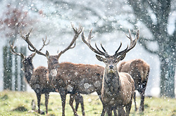 © Licensed to London News Pictures. 26/02/2018. London, UK. Deer stand in heavy snowfall and freezing temperatures in Richmond Park, west London, as a cold front sweeps in from the east. Up to 20cm of snow are expected in parts of the UK, with temperatures feeling as low as -15C in some places. Photo credit: Ben Cawthra/LNP