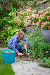Lightly cutting back Nepeta - catmint - with shears after it has finished flowering.