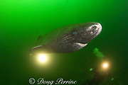 Greenland sleeper shark ( Somniosus microcephalus )<br /> and divers - St. Lawrence River estuary - Canada<br /> (this shark was wild & unrestrained - it was not hooked<br /> and tail-roped as in most or all photos from the Arctic)<br /> MR 373 - 374