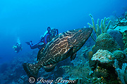 Mark Holmes uses Atlantis rebreather to dive with <br /> black grouper, Mycteroperca bonaci, <br /> off Nassau, Bahamas ( Western Atlantic Ocean )