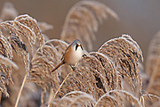 Bearded Tit, Panurus biarmicus male in frosty morning
