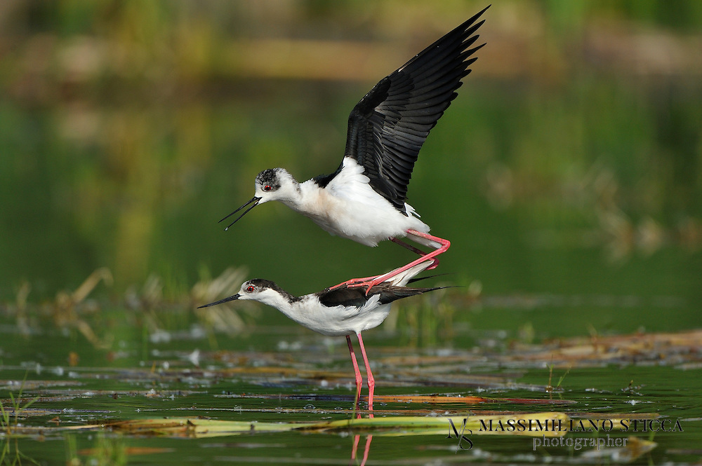 The Black-winged Stilt, Common Stilt, or Pied Stilt (Himantopus himantopus) is a widely distributed very long-legged wader in the avocet and stilt family (Recurvirostridae). Opinions differ as to whether the birds treated under the scientific name H. himantopus ought to be treated as a single species and if not, how many species to recognize. Adults are 33–36 cm long. They have long pink legs, a long thin black bill and are blackish above and white below, with a white head and neck with a varying amount of black. Males have a black back, often with greenish gloss. Females' backs have a brown hue, contrasting with the black remiges. In the populations that have the top of the head normally white at least in winter, females tend to have less black on head and neck all year round, while males often have much black, particularly in summer. This difference is not clear-cut, however, and males usually get all-white heads in winter.<br /> Immature birds are grey instead of black and have a markedly sandy hue on the wings, with light feather fringes appearing as a whitish line in flight.