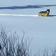 Gray Wolf, (Canis lupus) Lone wolf crossing alpine meadow. Bridger mountains of the Rockies.  Montana. Captive Animal.