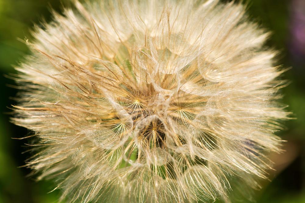 Close up of a dandelion, close to Crisan, Danube Delta, Romania.