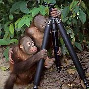 Orangutan, (Pongo pygmaeus) Pair of juvenile buddies in Sepilok Forest Rehabilitation Center playing with photographer's tripod.  Borneo. Malaysia. Controlled Conditons.