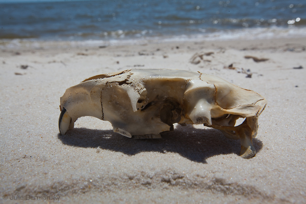 Small mammal scull on the beach in GUlfport Mississippi.<br /> An unprecedented number of dead animals   have washed up on the shores of Mississippi along the Gulf of Mexico starting almost a year after the BP oil spill.