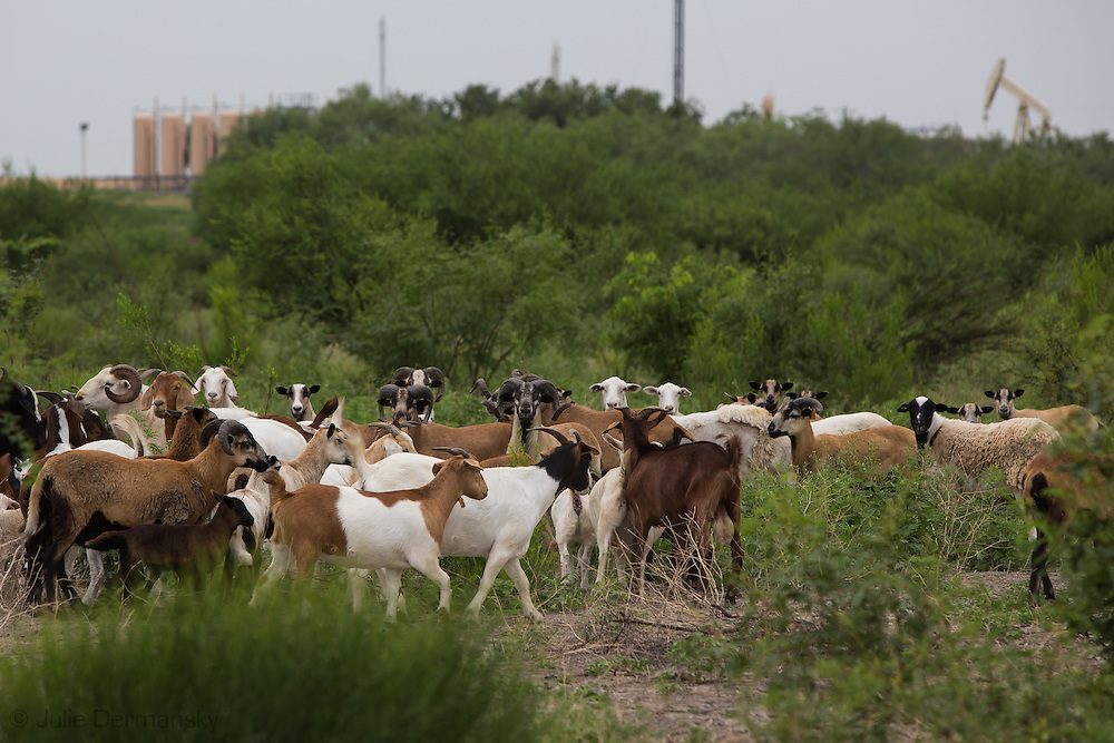 Grass fead goats on the Lyssy's   the Grassland Oasis farm in Three Oaks Texas, where they raise grass fed livestock. Three Oaks is in the Eagle Ford Shale where the fracking industry is booming. <br /> The Lyssys are worried the fracking industry will ultimately put them out of business by contaminating his water, or the air getting too polluted to making farming or living on his families land viable. <br /> They have held off leasing the mineral rights to the land though industry surrounds the farm.