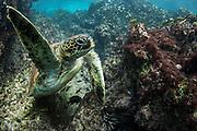 Galapagos Green Turtle (Chelonia mydas agassisi) Feeding<br /> Sullivan Bay, Santiago<br /> Galapagos<br /> Ecuador, South America