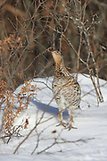 Ruffed Grouse Eating Willow Catkins in WInter Habitat