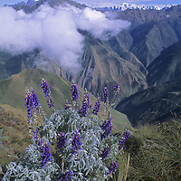A lupine plant grows high up a slope in the rugged Cordillera Vilcabamba range of the Peruvian Andes.