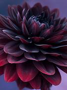 Dahlia 'Karma Choc' - decorative dahlia