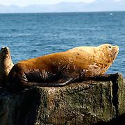 Northern Fur Seal(Callorhinus ursinus) off of the coast of Katmail, Alaska.