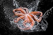 Fresh octopus in water splash on black background.
