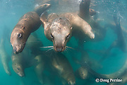 young male Steller's sea lions, or Steller sea lion, or northern sea lion, Eumetopias jubatus (an Endangered Species in the western part of its range, and Threatened in the eastern portion), Glacier Island, Columbia Bay, Alaska, United States of America ( Prince William Sound )