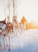 Leaping Husky, Husky sleigh driver, Norrbotten, Sweden, Lapland.