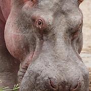 Portrait of a Hippopotamus, Kenya, Africa.