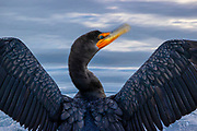 A double-crested cormorant (Phalacrocorax auritus) shakes its head dry after fishing in Puget Sound near Edmonds, Washington.