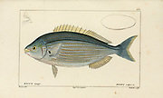 Boops from Histoire naturelle des poissons (Natural History of Fish) is a 22-volume treatment of ichthyology published in 1828-1849 by the French savant Georges Cuvier (1769-1832) and his student and successor Achille Valenciennes (1794-1865).