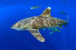 oceanic whitetip sharks, Carcharhinus longimanus, with pilot fish, Naucrates ductor, Big Island, Hawaii, Pacific Ocean