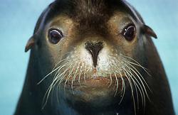 Portrait of sea lion taken at tourist venue near to Guardalavaca; Holguin Provine; Cuba,