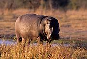 Hippopotamus (Hippopotamus amphibius)<br /> Okavango Delta<br /> Botswana