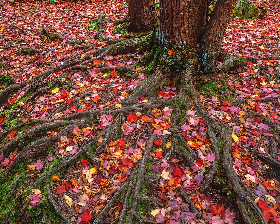 Tight pattern shot of tree roots and colorful red maple leaves in fall, Willard Brook State Forest, Ashby, MA