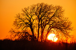 Sunset tree silhouette on Daphne Prairie, a remnant of the Blackland Prairie, Mount Vernon, Texas, USA.