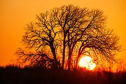 Sunset tree silhouette on Daphne Prairie, a remnant of the Blackland Prairie, Mount Vernon, Texas, USA.