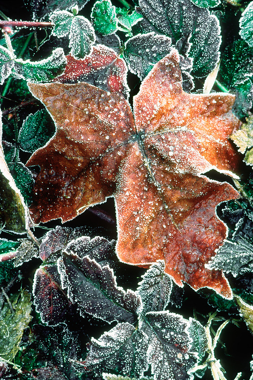 Olympic National Park, Washington, USA. Big-leaf maple leaf with frost and ice (Acer macrophyllum), lowland forest.