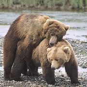 Alaskan Brown Bear, (Ursus middendorffi) male bear mating with female. Alaska Peninsula