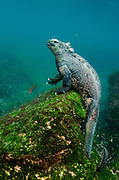 Marine Iguana (Amblyrhynchus cristatus)<br /> underwater<br /> Fernandina Island<br /> GALAPAGOS ISLANDS<br /> ECUADOR. <br /> South America<br /> ENDEMIC TO THE ISLANDS