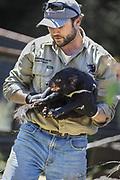 Tasmanian Devil<br /> Sarcophilus harrisii<br /> Wade Anthony, Managing Director of Devils at Cradle, holding devil during health check<br /> Devils at Cradle, Cradle Mountain National Park, Tasmania, Australia<br /> *Captive- captive breeding program