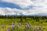 Scenic view of Arctic Lupine, other widlflowers, a spruce forest, and Dixon and Portlock Glaciers along Kachemak Bay in Southcentral Alaska. Summer. Afternoon.