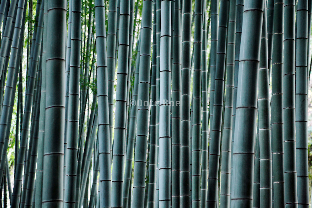tree trunks of a bamboo forest