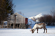 Reindeer grazing in the snow in arctic landscape at Kvaløysletta, Kvaloya Island, Tromso in Arctic Circle Northern Norway