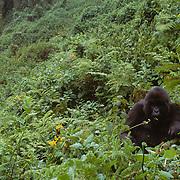 Female mountain gorilla feeding in Volcanoes National Park Rwanda, Africa.