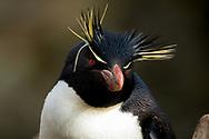 New Island, the Falkland Islands, UK